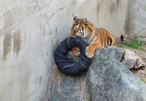japanese-zoo-jeans-are-ripped-and-torn-by-tigers-designboom-01